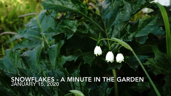 Snowflakes (Leucojum) - A Minute In The Garden for A Gardener's Notebook