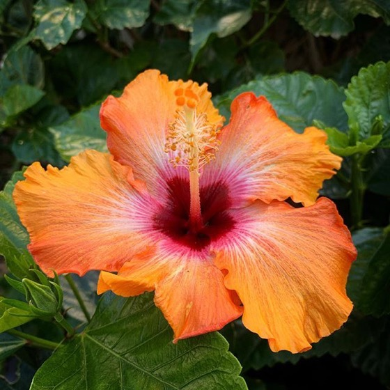 Amazing Multicolor Hibiscus vi Instagram
