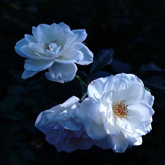 White roses in the neighborhood via Instagram