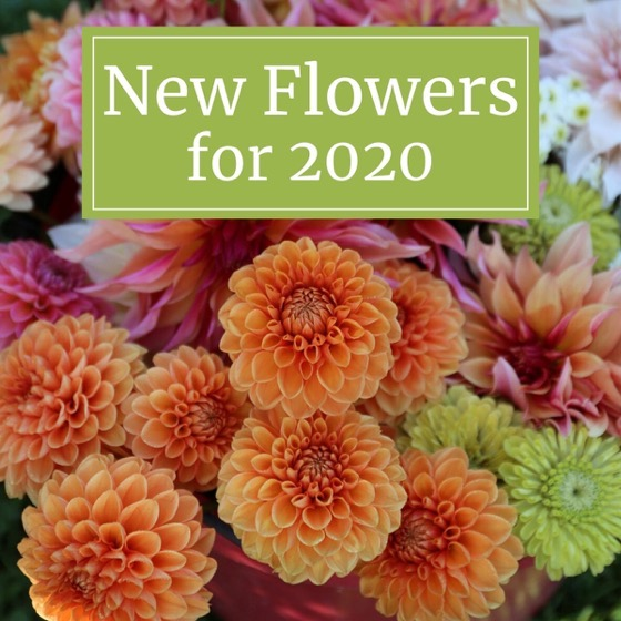 Dazzling Dahlias - 19 in a series - New Flowers For Your 2020 Garden via Longfield Gardens