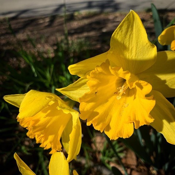 California Daffodils in the Garden 2 via Instagram