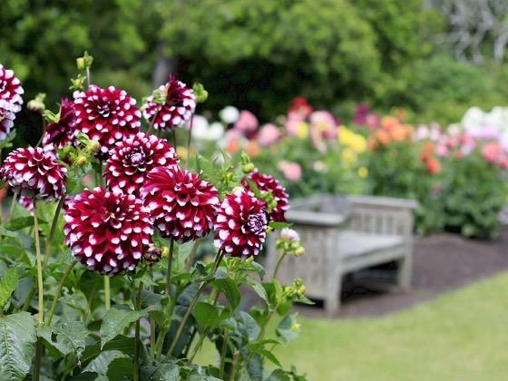 Dazzling Dahlias - 20 in a series - Dahlia Garden At The Mendocino Coast Botanical Gardens