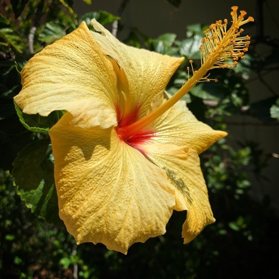Hibiscus In The Sun via Instagram