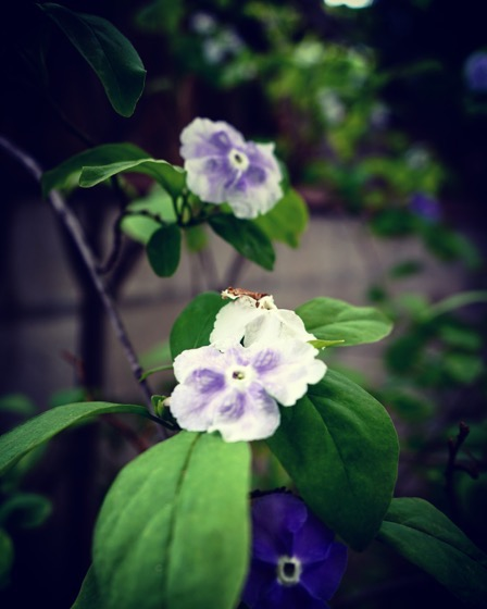 Brunfelsia (Yesterday, Today, and Tomorrow) via Instagram