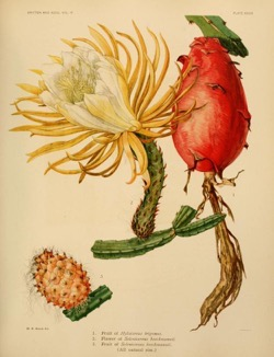 Historical Garden Books - 74 in a series - The Cactaceae : descriptions and illustrations of plants of the cactus family (1919) by Nathaniel Lord Britton, J. N. (Joseph Nelson) Rose, J. N. (Joseph Nelson)