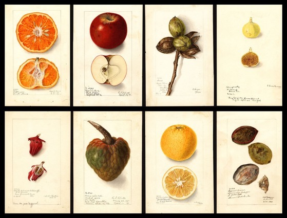 Over 100 Years Ago, the US Government Commissioned 7,500 Watercolor Paintings of Every Kind of Fruit in the Country via Morsel NEW YORK