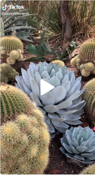 Captivating Cactus and Striking Succulents: 29 in a series - Succulent & cacti magic from Sacred Elements on TikTok