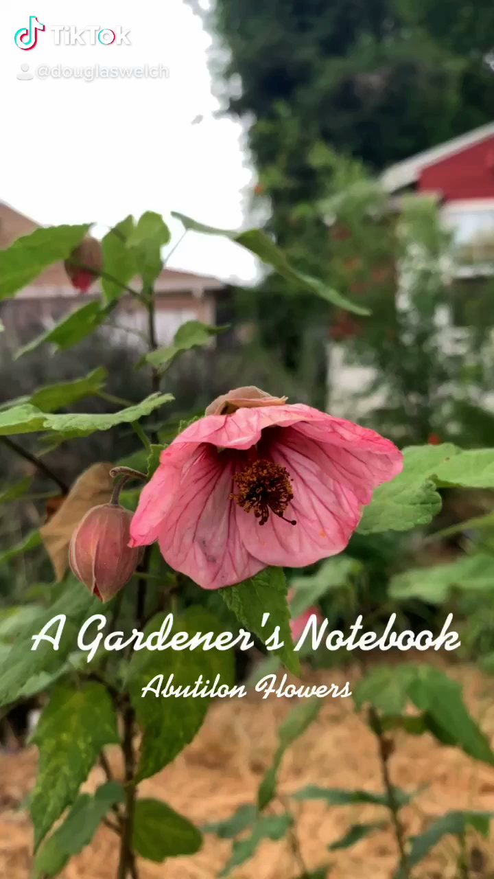 In the garden...Abutilon Flowers