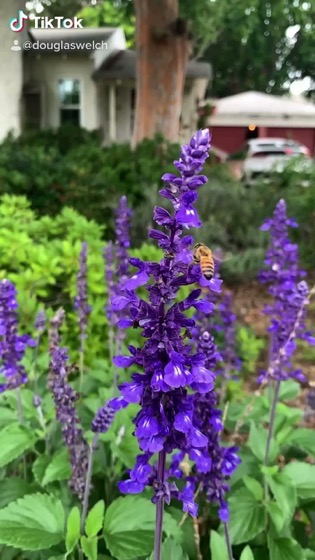 Slow-motion Bee On Sage Flowers in my garden via TikTok [Video]