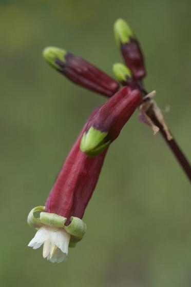Interesting Plant: Firecracker Brodiaea (Dichelostemma ida-maia)