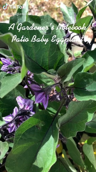In the garden...Patio Baby Eggplant via TikTok [Video]