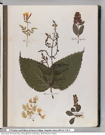 Discover Emily Dickinson's Herbarium: A Beautiful Digital Edition of the Poet's Collection of Pressed Plants & Flowers Is Now Online via Open Culture