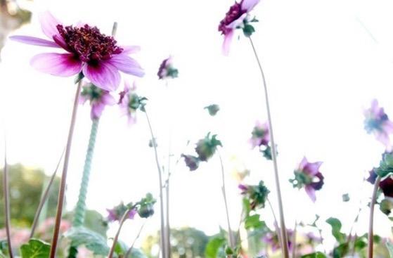Dazzling Dahlias - 26 in a series - Dahlias: one flower, infinite beauty via The Los Angeles Times