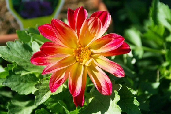 Dazzling Dahlias - 23 in a series - The best dahlias for a backyard cutting garden via Statesville Record & Landmark