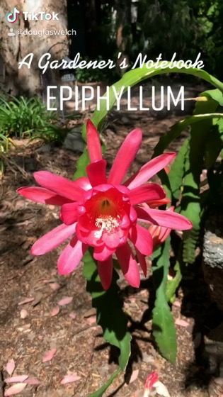 In The Garden...Amazing #Epiphyllum Flower in the garden with more on the way [Video]