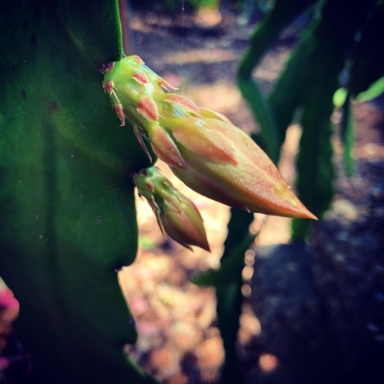 Epiphyllum buds almost ready to bloom via Instagram