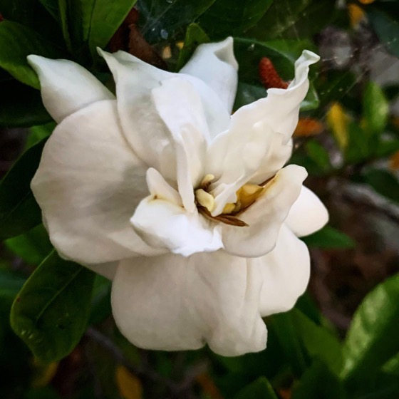 Wish You Could Smell This Gardenia via Instagram