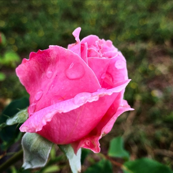 Raindrops on Roses...via Instagram