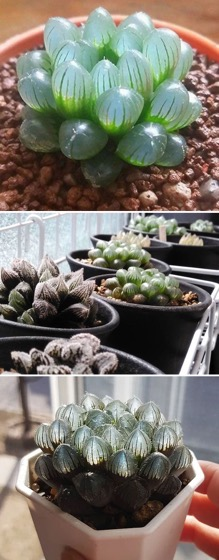 Captivating Cactus and Striking Succulents - 33 in a series - 30 Types Of Succulents That Look Like Something Out Of This World via Bored Panda