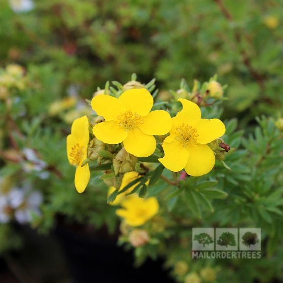 Interesting Plant: Potentilla fruticosa 'Goldfinger'