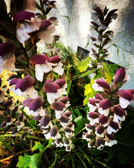 Bear's Breeches (Acanthus) In The Garden via Instagram