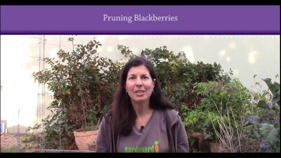 Pruning Blackberries in 3 Steps via Gardenerd [Video]