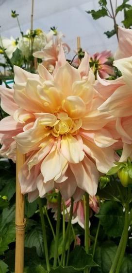 Dazzling Dahlias - 29 in a series -  Discover Otto's Delight, a Dinnerplate Dahlia in delicate peach tones via B Town Blog