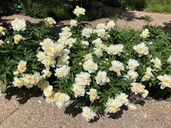 Interesting Plant: Paeonia lactiflora 'Honey Gold' via Jimmy Turner on Twitter