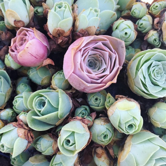 Captivating Cactus and Striking Succulents - 35 in a series - Everything You Need to Know About Rose Succulents—Including Where to Find Them and How to Care for Them via Martha Stewart