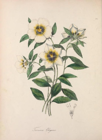 Historical Garden Books - 89 in a series - The floral cabinet and magazine of exotic botany (1837)