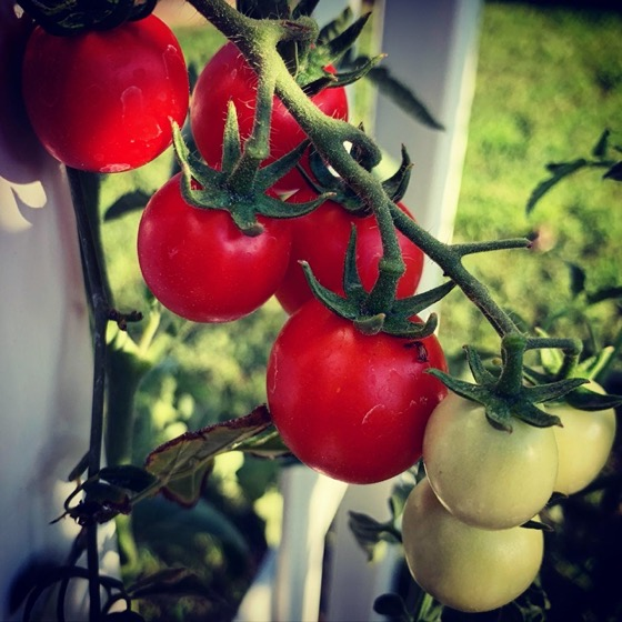Tomatoes Coming On via Instagram