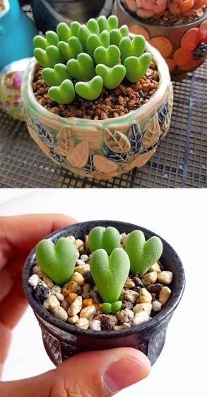 Captivating Cactus and Striking Succulents - 44 in a series - Conophytum Bilobum
