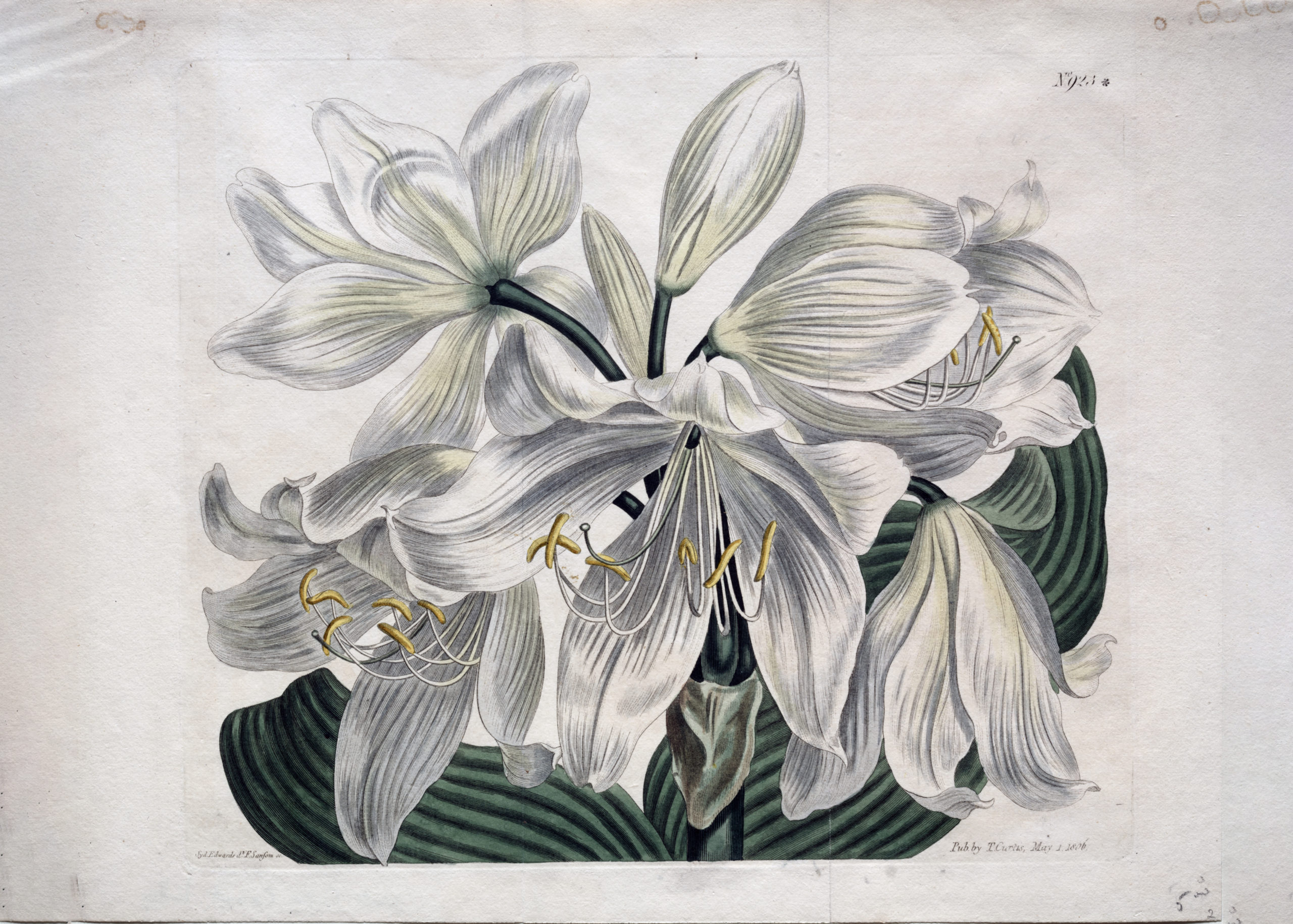 Vintage Botanical Prints - 8 in a series -  White Cape-Cost Lily from the Cleveland Museum of Art