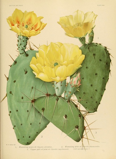 Captivating Cactus and Striking Succulents - 48 in a series - The Cactaceae. v.1.