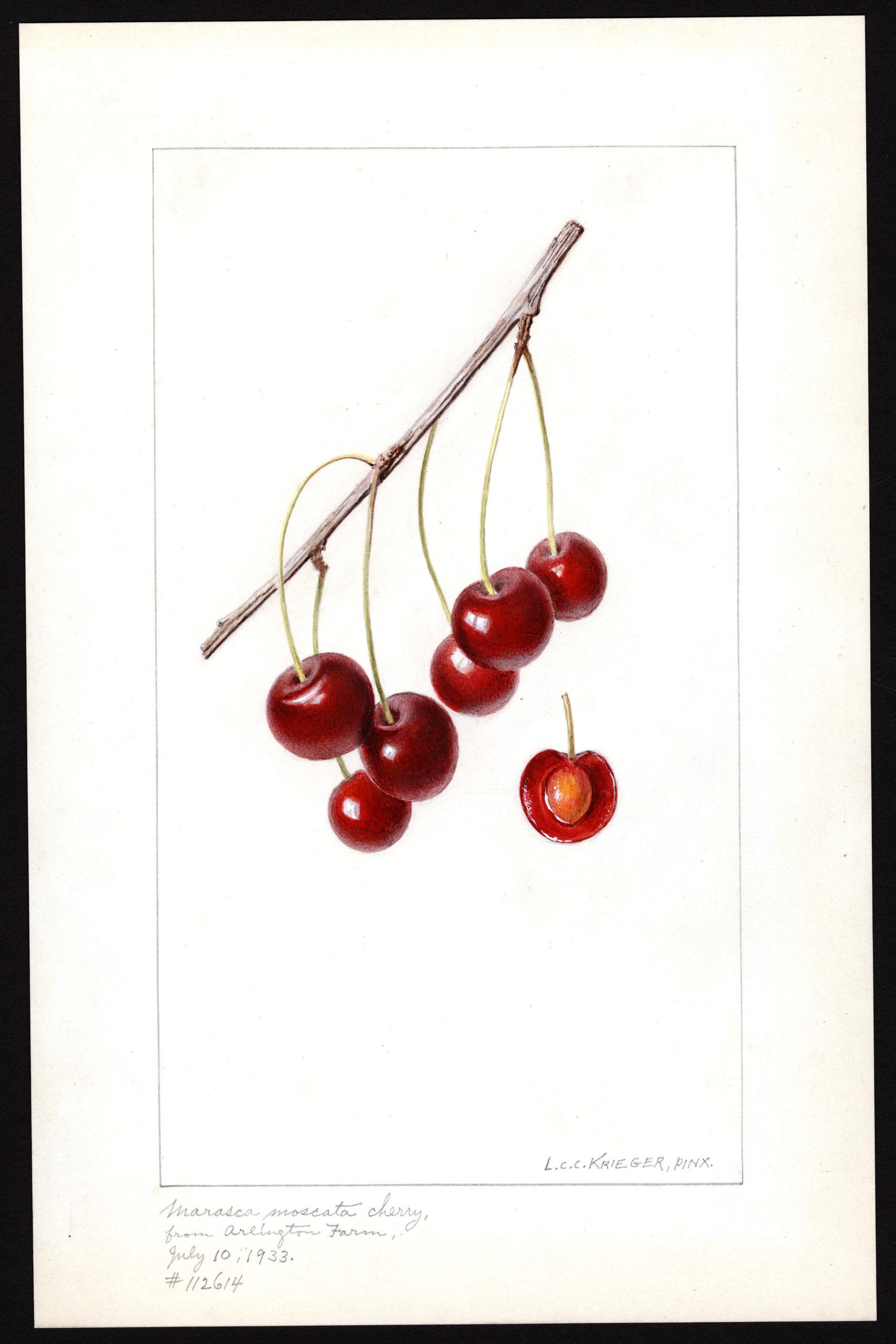 Krieger cherries Marasca Moscata 1933