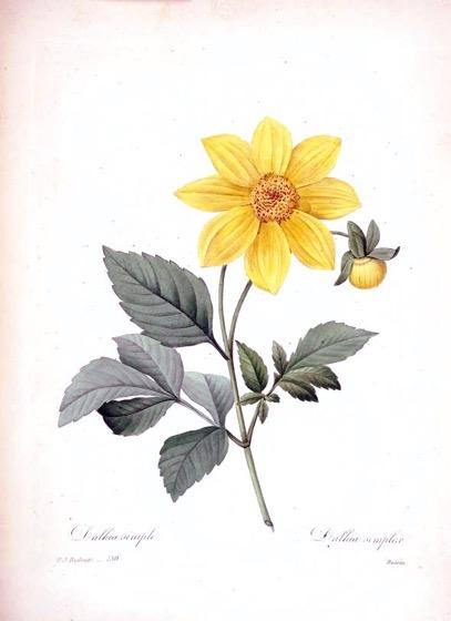 Dazzling Dahlias - 42 in a series -  Dahlia simplex from Choix des plus belles fleurs :et des plus beaux fruits (1833)