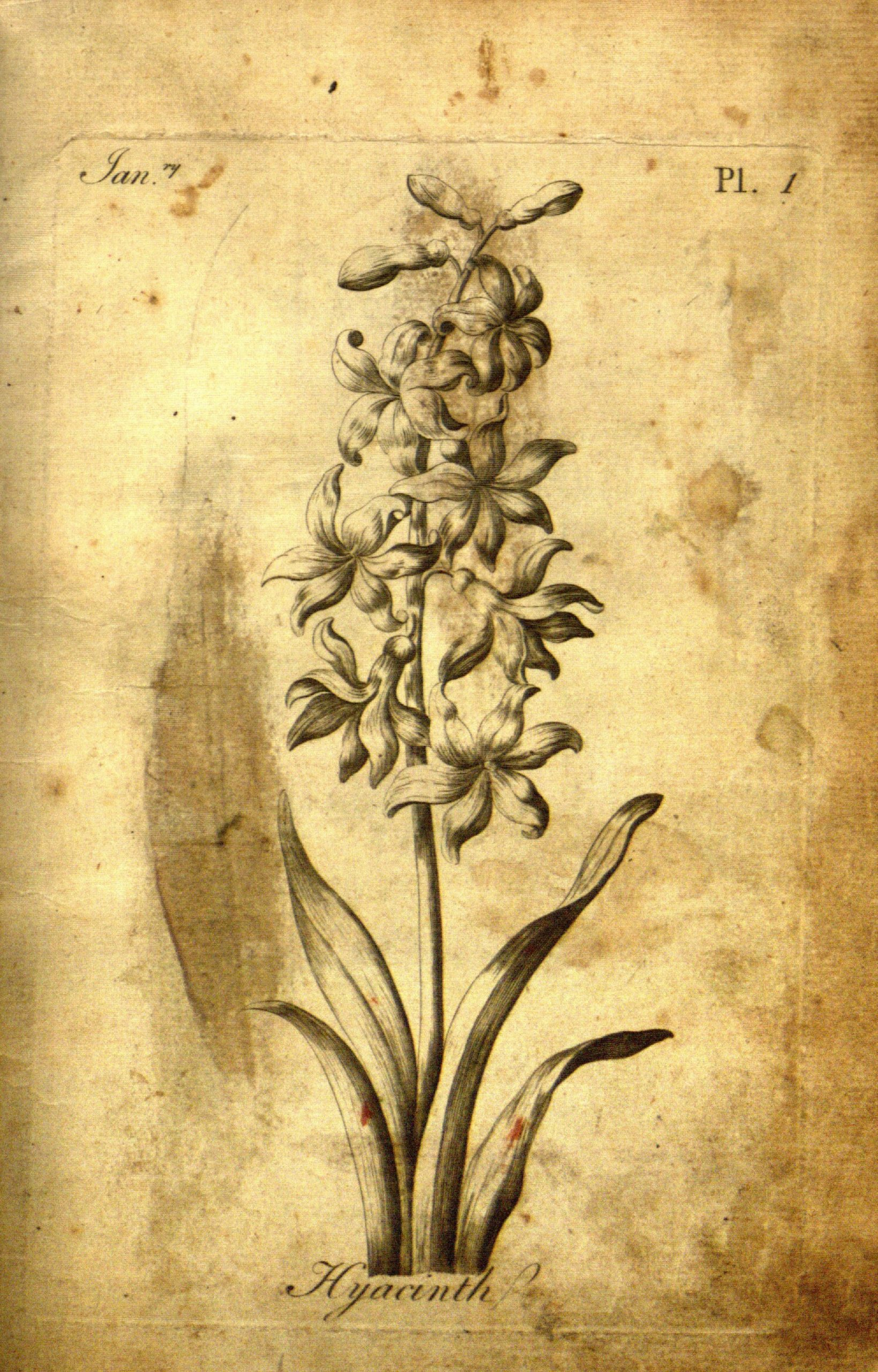 Vintage Botanical Prints - 4 in a series - Hyacinth from The florist :containing sixty plates of the most beautiful flowers regularly disposed in their succession of blowing.(1760)