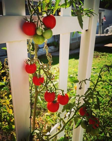 Tomatoes Keep On Going via Instagram
