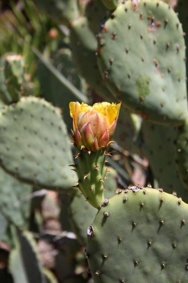 Captivating Cactus and Striking Succulents - 50 in a series - Opuntia laevis / Tulip prickly pear via cactguy on Tumblr