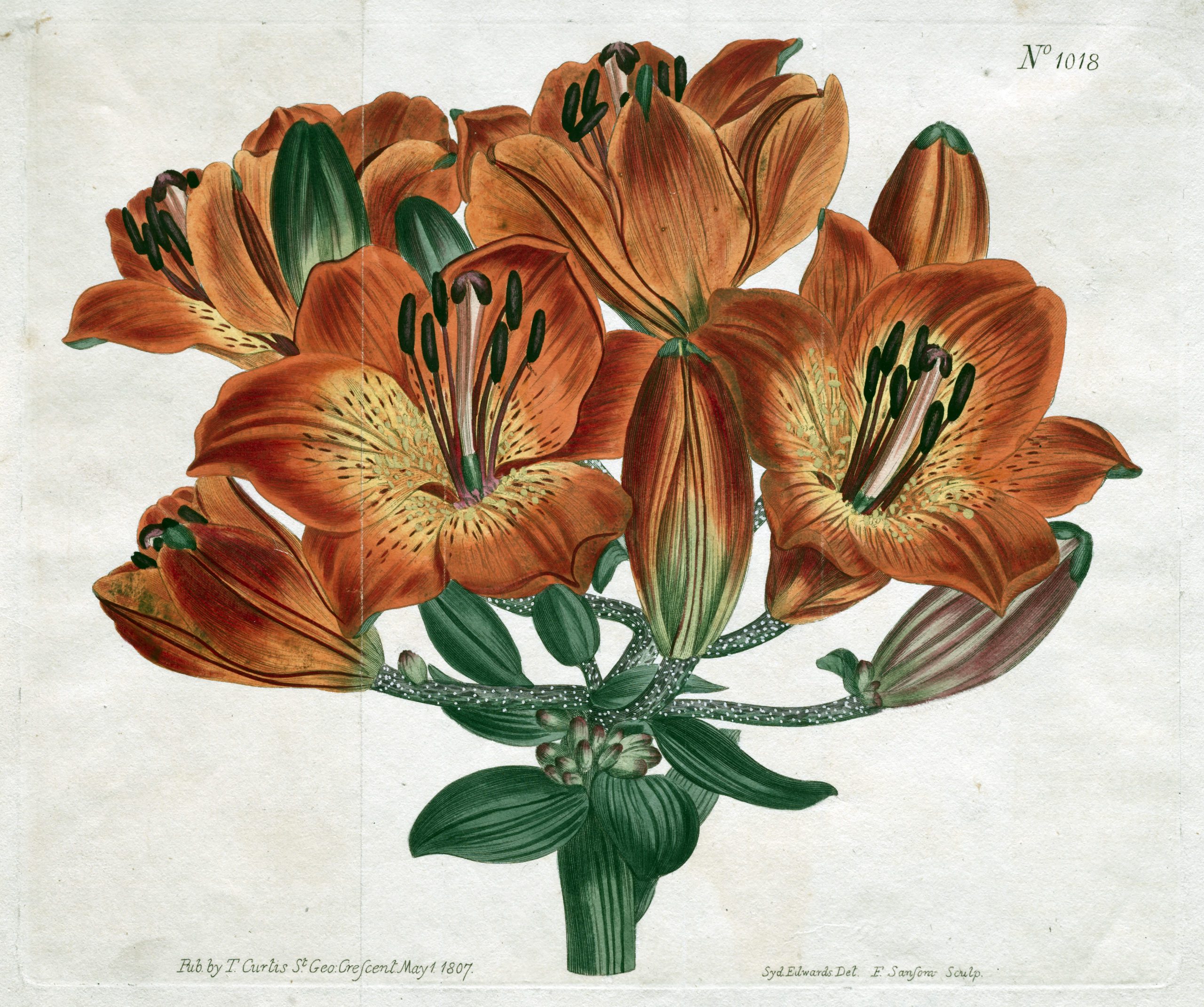 Vintage Botanical Prints - 16 in a series - The Botanical Magazine or Flower Garden Displayed: Umbel-Flowering Bulb-Bearing Orange-Lily (1807)