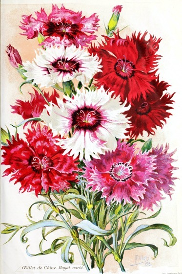 Dazzling Dahlias - 45 in a series -  L'Œillet de Chine Royal Dahlia Botanical Print from the Biodiversity Heritage Library