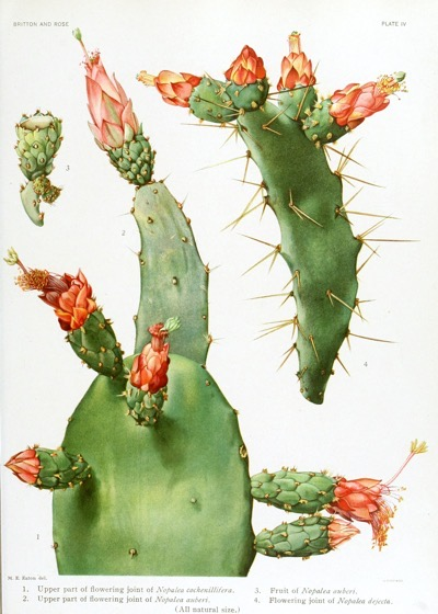 Captivating Cactus and Striking Succulents - 56 in a series - Nopalea from The Cactaceae (1919)