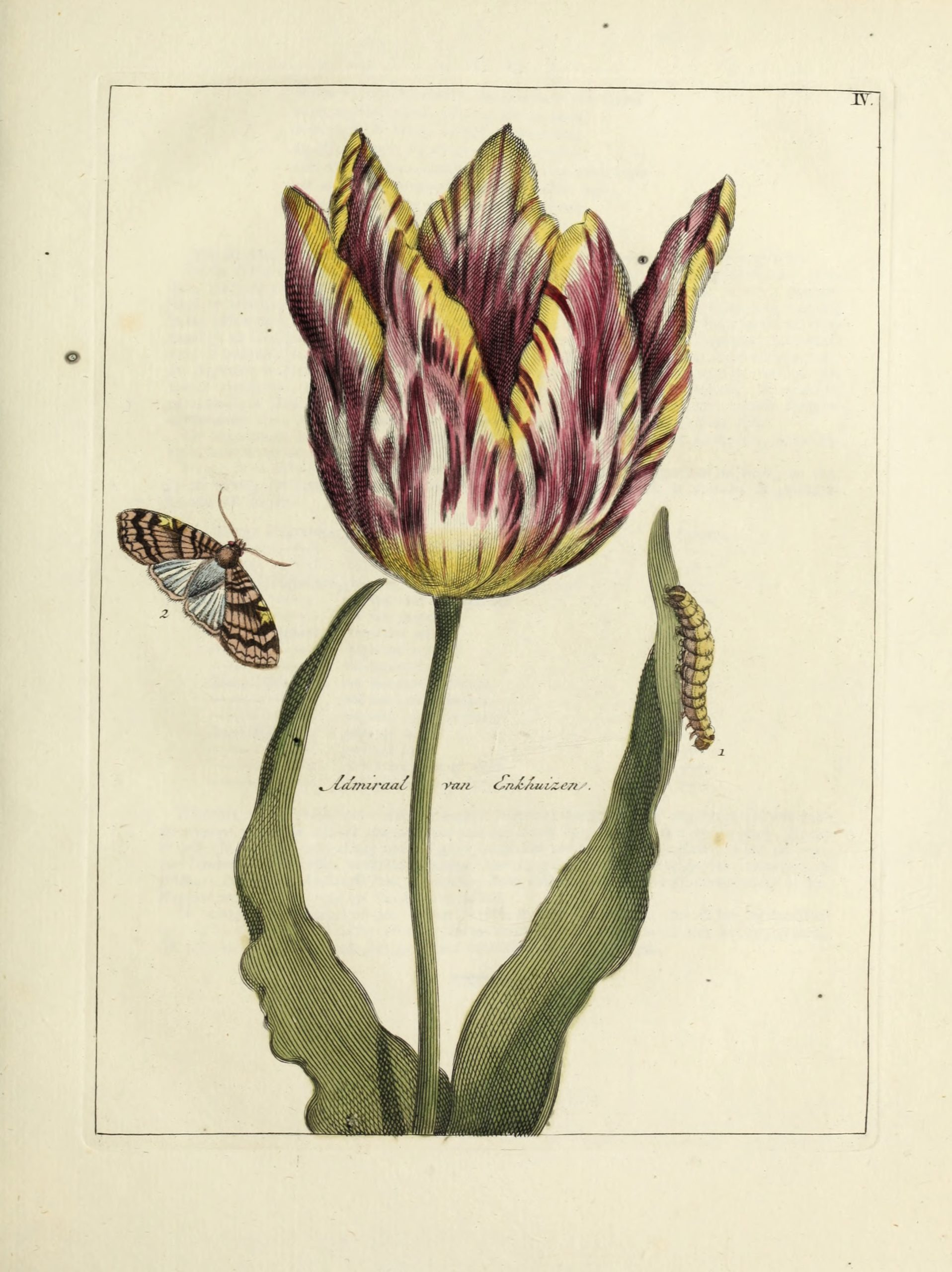 Vintage Botanical Prints - 14 in a series -  Vintage Tulip