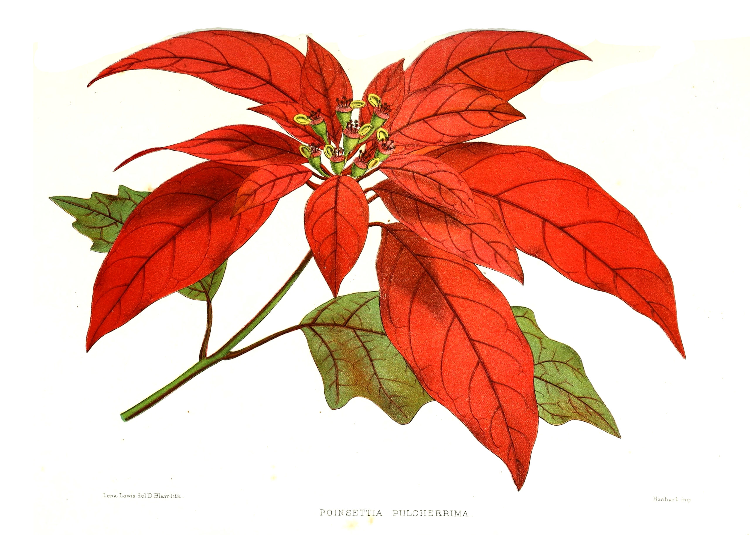 Vintage Botanical Prints - 18 in a series - Vintage Poinsettia pulcherrima Botanical Print from the Biodiversity Heritage Library (1878)