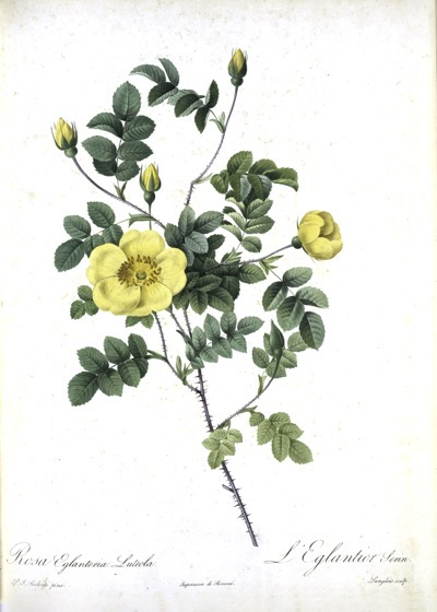 Vintage Botanical Prints - 20 in a series - Rosa Eglanteria Luteola from The New York Public Library Digital Collections (1817)
