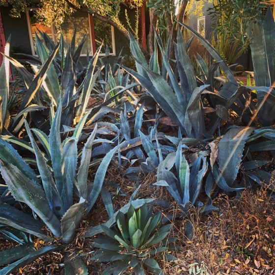 A collection of agave in the neighborhood via Instagram