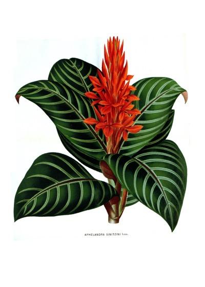 Aphelandra sinitzini botanical print