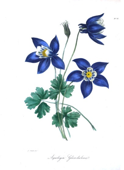 Vintage Botanical Prints - 22 in a series - Aquilegia glandulosa from The floral cabinet and magazine of exotic botany Volume 1 (1837)