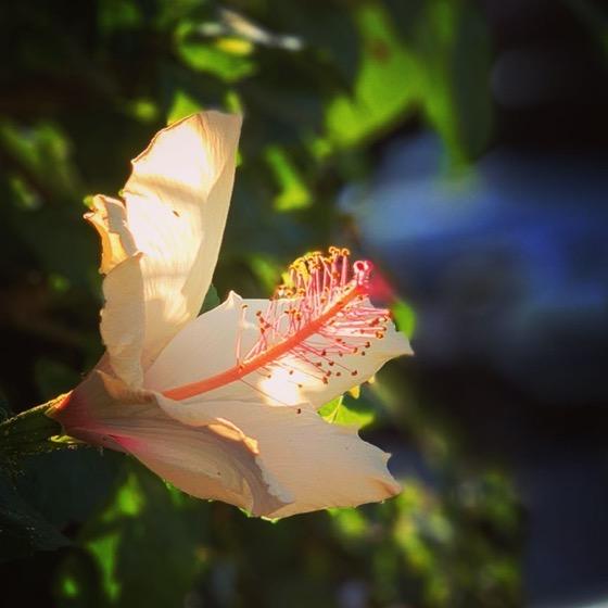 Hibiscus in the sun via Instagram