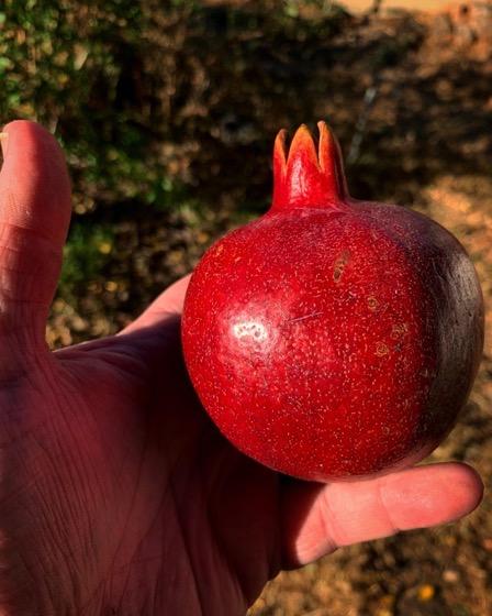 A Lovely Pomegranate From The Garden via Instagram